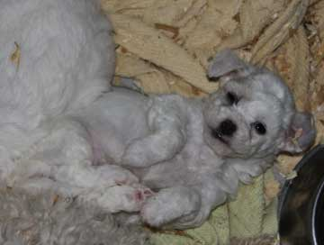 Adorable Bichon puppies for sale