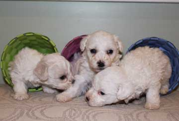 bichon puppies for show