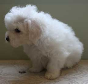 Pictures of your Bichon puppy