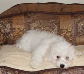 Beds for Bichon Frise puppies